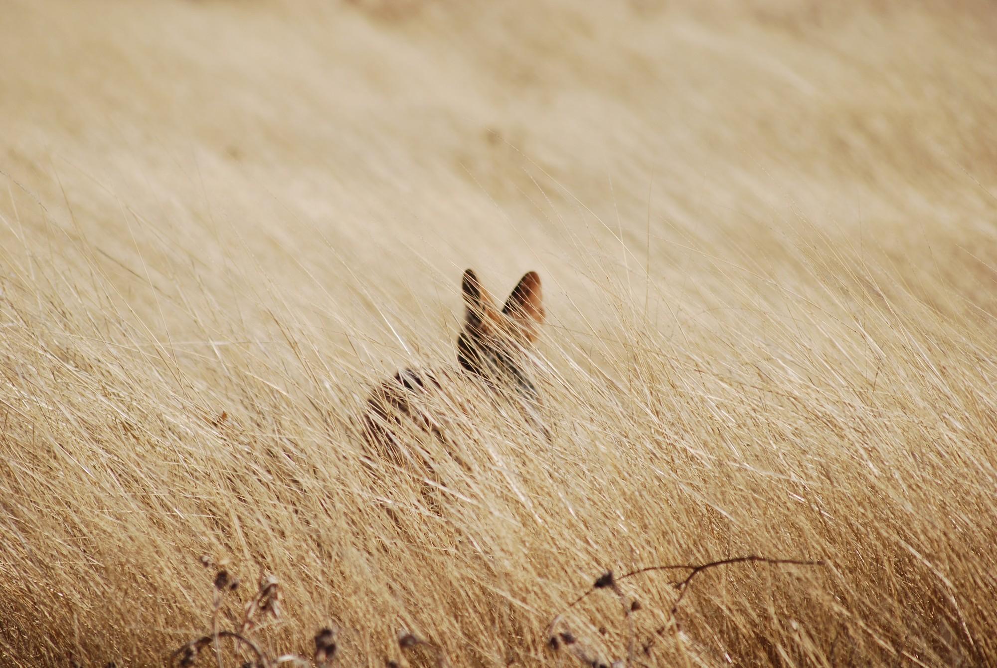 Schakal von hinten fotografiert stehend in einer Wiese aus trockenem Gras